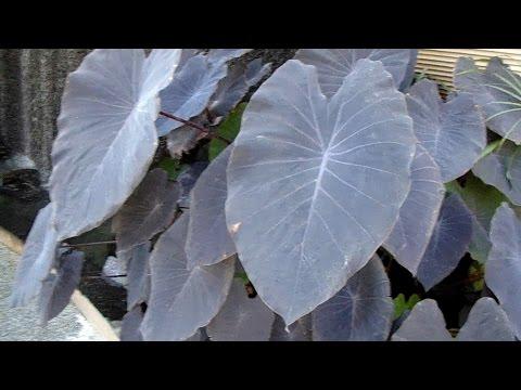 Colocasia Esculenta - Black Magic Plant