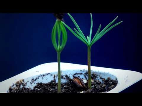Tree seedling time lapse - Pine & Chestnut