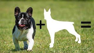 Top 10 Unreal French Bulldog Cross Breeds   French Bulldog Mixes