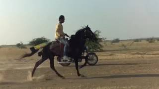 Best racking horse in india top speed