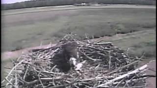Three Chicks on the 2015 Blackwater NWR Osprey Cam