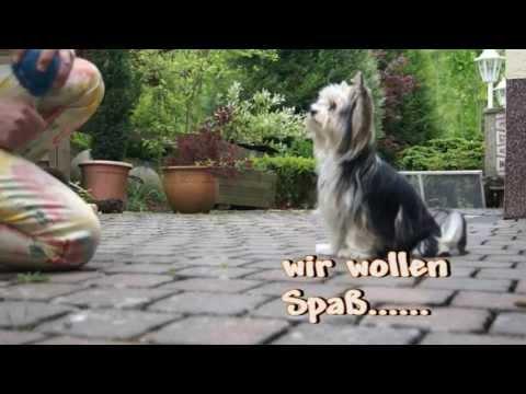 "mini Biewer Yorkshire Terrier ""Goliath & Loki"" ——like to move it"