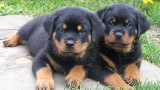 Rottwieler, Puppies For Sale, In, Hampton, Virginia, West, VA, Norfolk, Chesapeake, 19Breeders