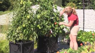 Sept. 17/12 Senga's Vlog - How to Grow and Maintain Tomatoes for a Great Harvest