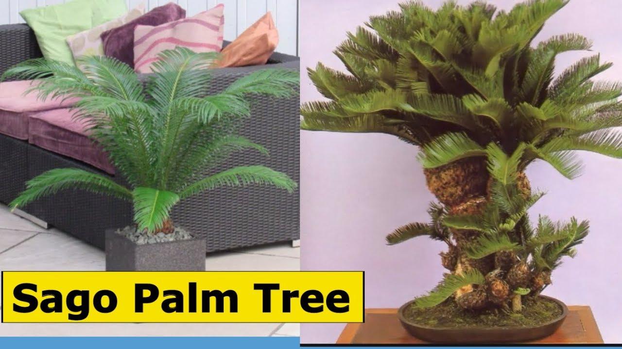 How To Care Sago Palm Tree Bonsai Hungbonsai123 Youtube