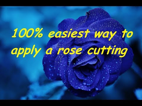 100% easiest  easy way to apply a rose cutting stem  How to grow rose plant from stem