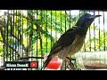 Burung Kolibri Manggar Pancingan Wiceh Kelapa Gacor  Mp3 - Mp4 Download