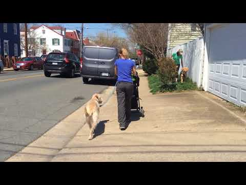 Mochi heeling with stroller past Golden Retriever puppy