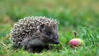 Картинка животное. Лес, вечер, природа, яблоко, фотоохота, июль, ёжик | Animal picture. Hedgehog