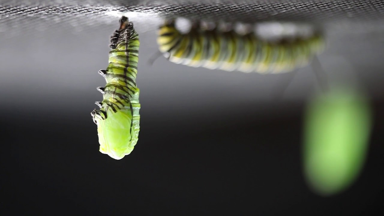 The Caterpillar To Chrysalis Transformation In Real Time The Kid