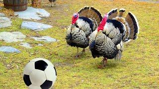 FUNNY TURKEYS Playing Soccer Football
