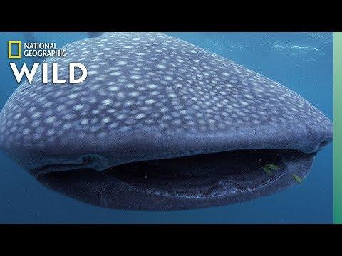 5 Big Sharks That Rule the Sea | Nat Geo Wild