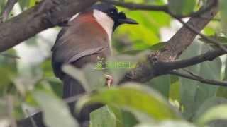 Video Suara Burung Poksay Punggung Merah Garrulax nuchalis Versi 5 download MP3, 3GP, MP4, WEBM, AVI, FLV Oktober 2018