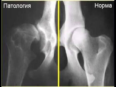 Дисплазия у собак, разрыв ПКС, локтевые суставы..Ортопедические тесты. Техника проведения.
