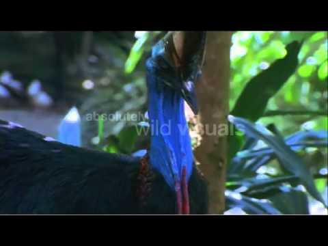 Owary Eating Rainforest Fruit