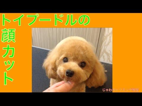 トイプードルのテディベア顔のカット(基本編)'Toy poodle of the face of the cut, teddy bear style Basic Administration'