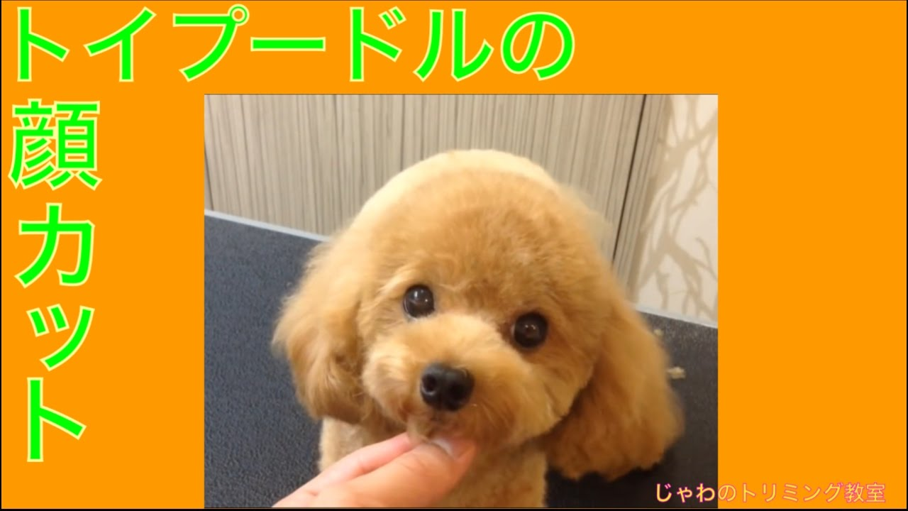 ��������������������quottoy poodle of the face of the cut