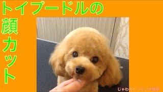 """トイプードルのテディベア顔のカット(基本編)""""Toy poodle of the face of the cut, teddy bear style Basic Administration"""""""