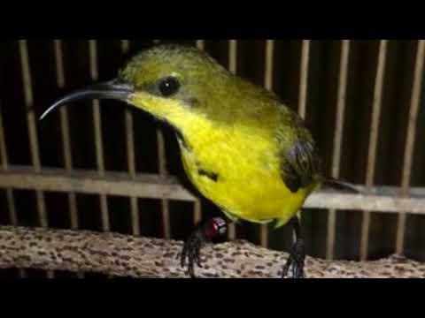 Cukup 5 menit!!! Burung Sogok Ontong manapun bakal nyaut dan gacor