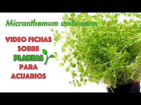 Micranthemum umbrosum - video fichas sobre plantas para acuarios