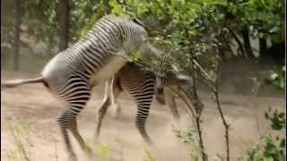 Sedgwick County Zoo  Zebra's