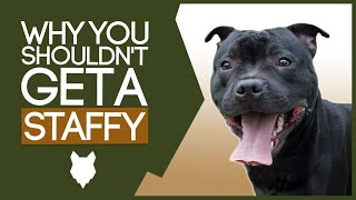 STAFFORDSHIRE BULL TERRIER! 5 Reasons You SHOULD NOT GET A Staffy!