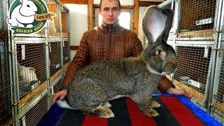 Разведение кроликов содержание кормление (Кролики породы Бельгийский великан)