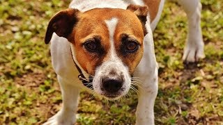 ** Potty Training a Jack Russell Puppy - FREE Mini Course