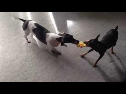 Fiona( Miniature Pinscher not longer with us :/ ) and Cooper(miniature dachshund) playing on a toy!