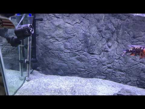 A death happened in my show tank. Keeping African cichlids aggressive behavior a bummer