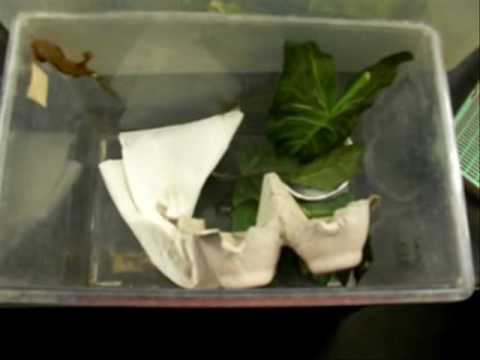 Moving Crested Gecko Babies