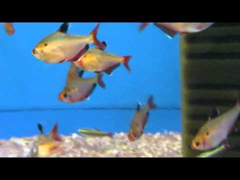 Аквариумная рыбка - Минор!