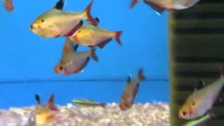 видео Аквариумная рыбка Боция клоун: фото, содержание и кормление, размножение и разведение.