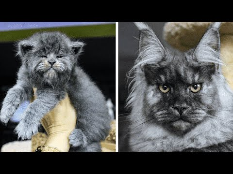This Entire Litter Of Maine Coon Kittens Were Born With 'Grumpy' Faces And They're Adorable