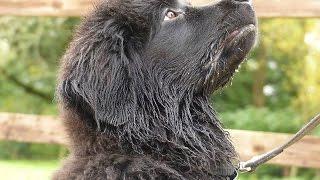 Marshall - Newfoundland Puppy - 3 Week Residential Dog Training