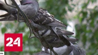 В Краснознаменске из-за голубей с центральной площади могут исчезнуть лавочки - Россия 24