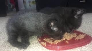 Kittens Eating Wet Food
