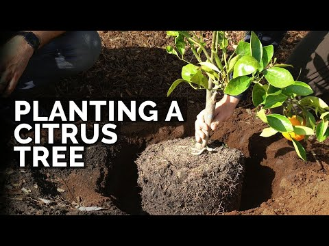 How to Plant Citrus Trees From Start to Finish (COMPLETE GUIDE) 🍊