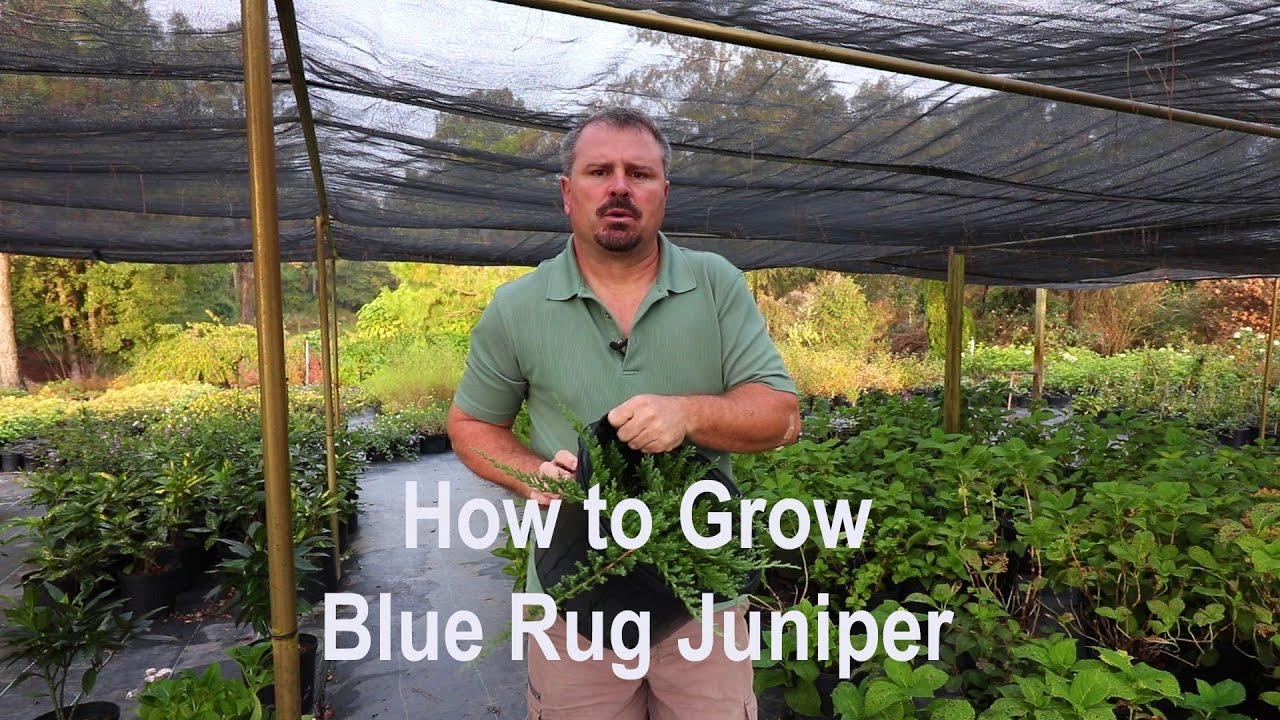 How to grow Blue Rug Juniper with