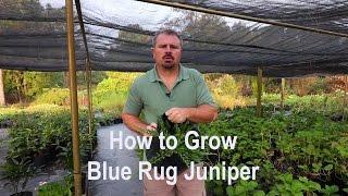 How to grow Blue Rug Juniper with detailed description