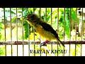 Besetannya Woww Banget Walaupun Masih Muda Kolibri Ninja Konin  Mp3 - Mp4 Download