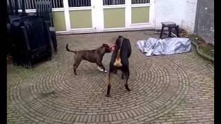 """vicious"" Rottweiler Vs Staffordshire Bull Terrier"