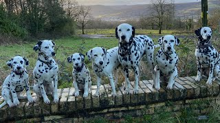 What is it like living with dalmatians