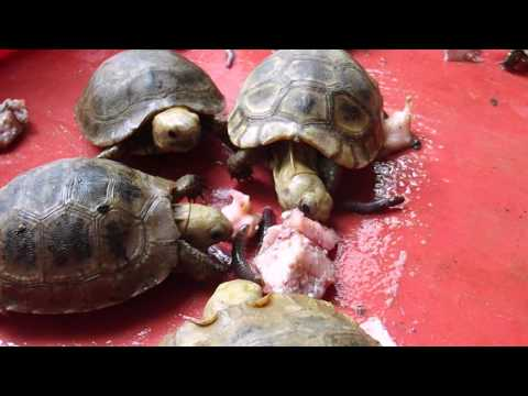 Elongated tortoise hatchlings eating fig & worms