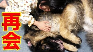 一泊で出掛けていたジャーマンシェパード犬マック君、 孫娘 梨々香と再...