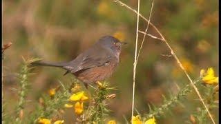 Fauvette pitchou - Dartford Warbler - Provencegrasmücke  ( Sylvia undata )