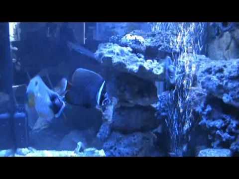 Chaetodon Collare - Kaulusperhokala- Pakistan Butterfly Fish