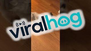Tiny Dog Does Toothbrush Tap Dance    ViralHog