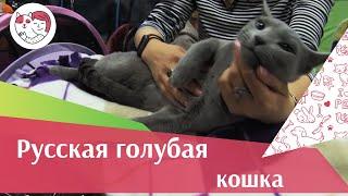 Русская голубая  порода  кошек на  ilikepet