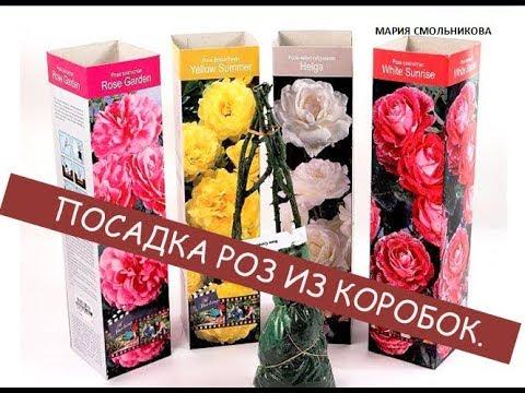 Посадка роз из коробок .